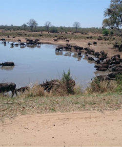 Soos buffels op pad weiding toe